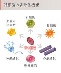 幹細胞の多分化機能